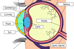 Learn about the Human Eye
