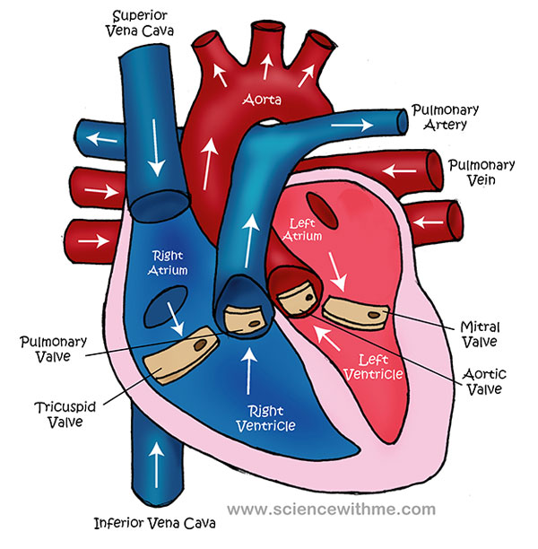 collection of blood flow through the heart worksheet - sharebrowse, Muscles