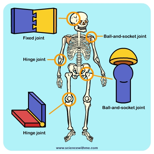Learn about your Joints – Types of Joints Worksheet