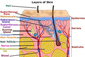 Learn about the Skin