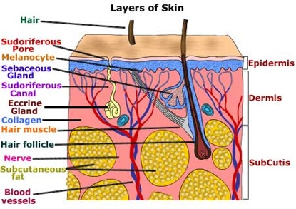 learn about the skin, Cephalic Vein